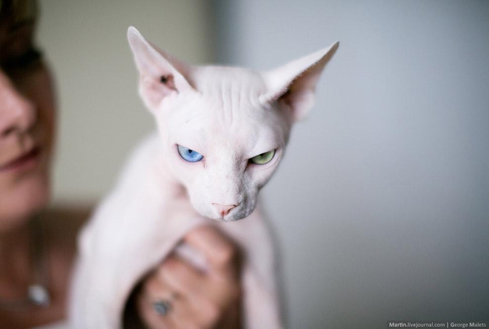 А это специально выведенная кошка с разноцветными глазами