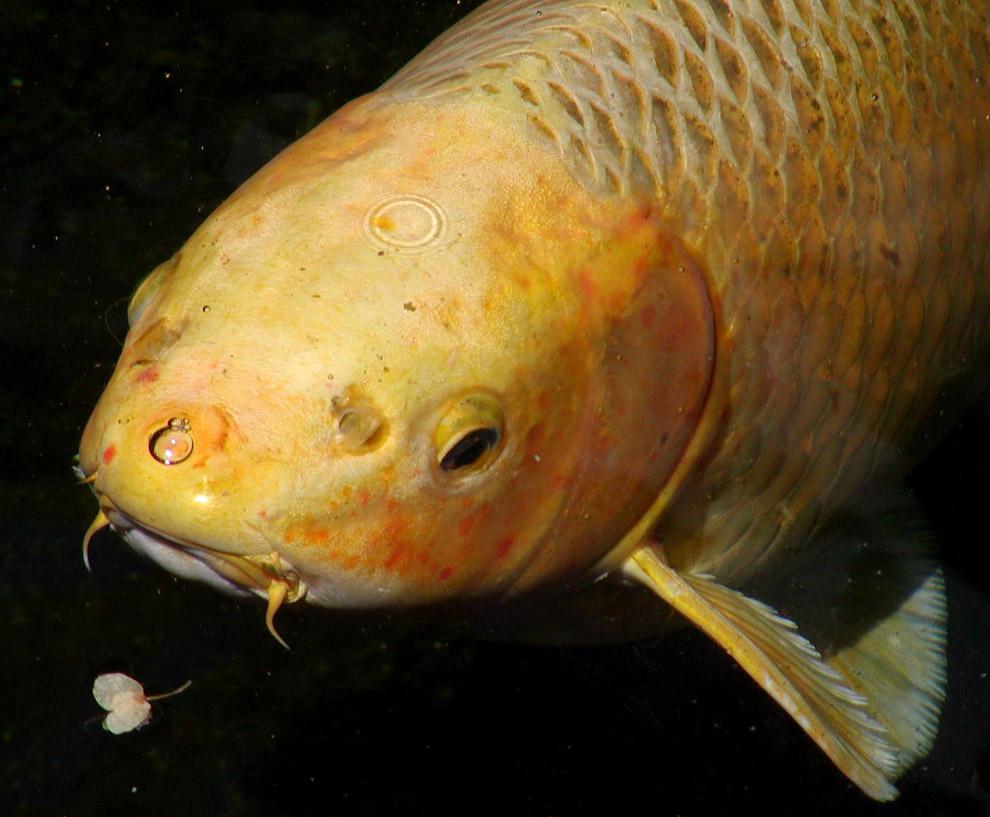 Рыбка Ханако