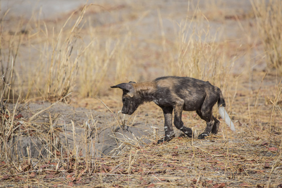 Собака дикая Африки