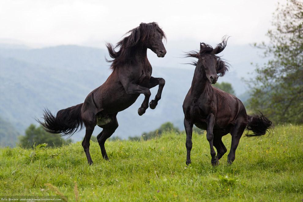 Кара и Каракез - стравливание двух карачаевских жеребцов