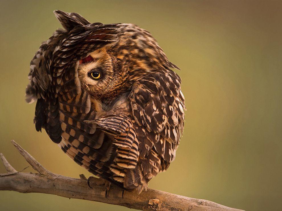 Застенчивая сова