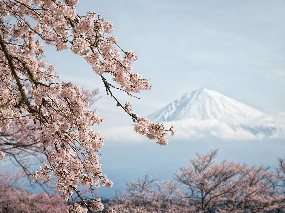 Цветущая вишня и гора Фудзи