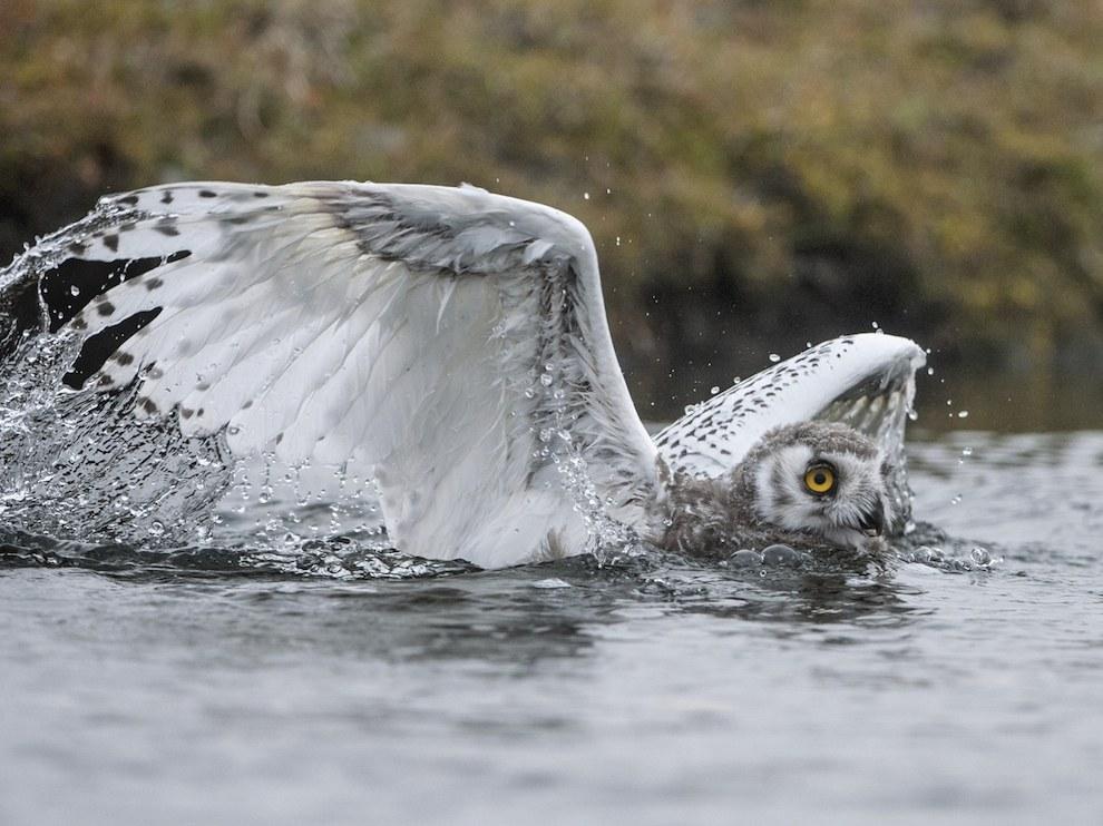 Птенец белой совы, остров Врангеля