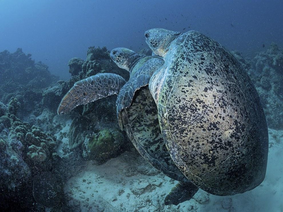 Черепахи у острова Европа