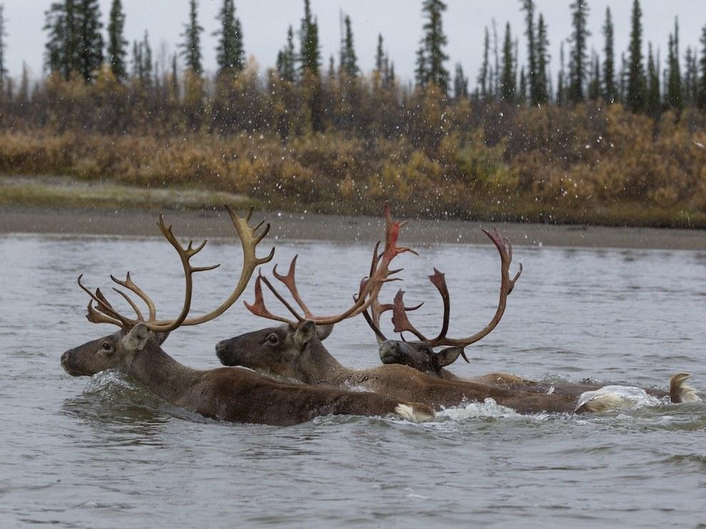 Северные олени, Канада
