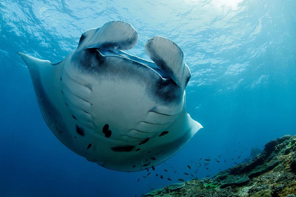 Гигантский морской дьявол (Манта)