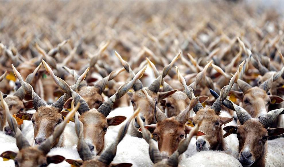 Электорат Стадо овец под Будапештом