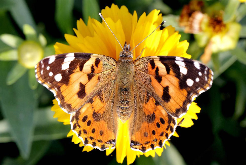 Бабочка на цветке в парке в Нью-Дели, Индия