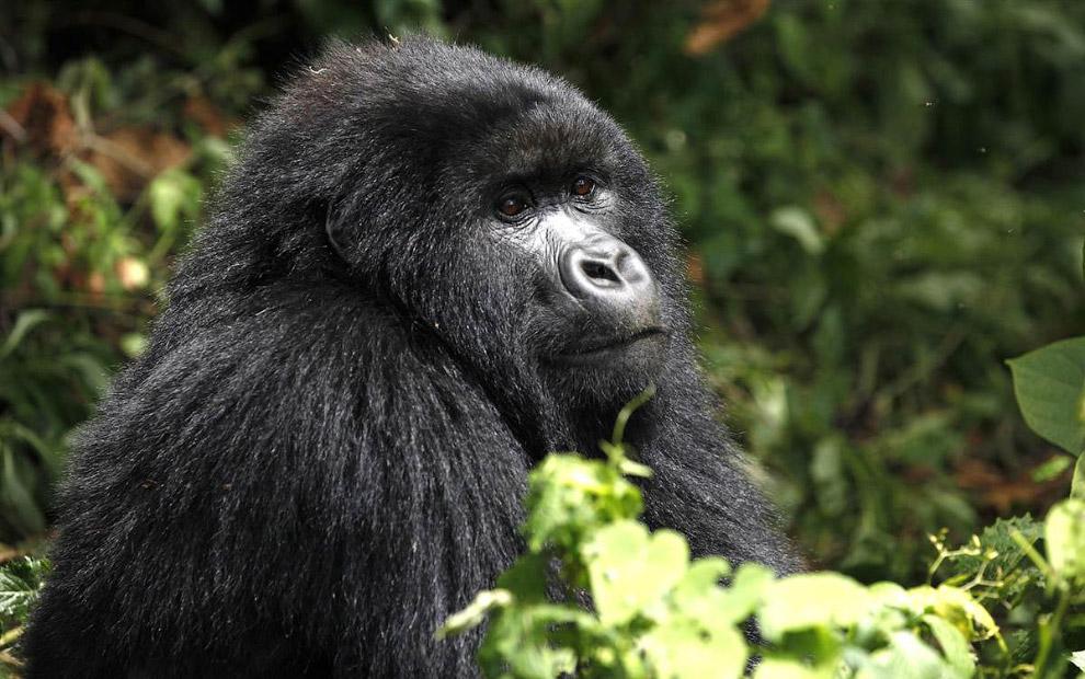 Горная горилла в Демократической Республике Конго