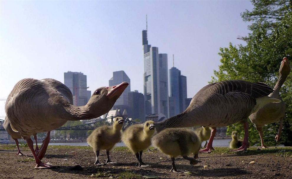 Семейство уток ищет пищу на набережной реки Майн во Франкфурте, Германия
