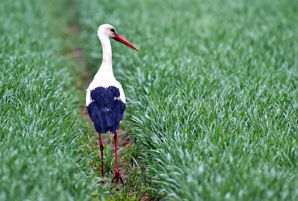 Белый аист в поле, Германия