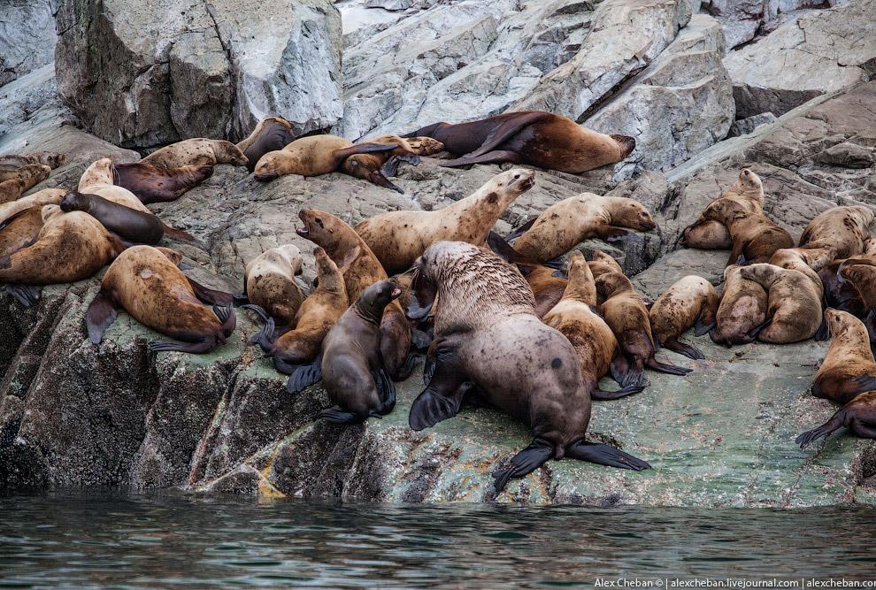 Лежбище морских львят