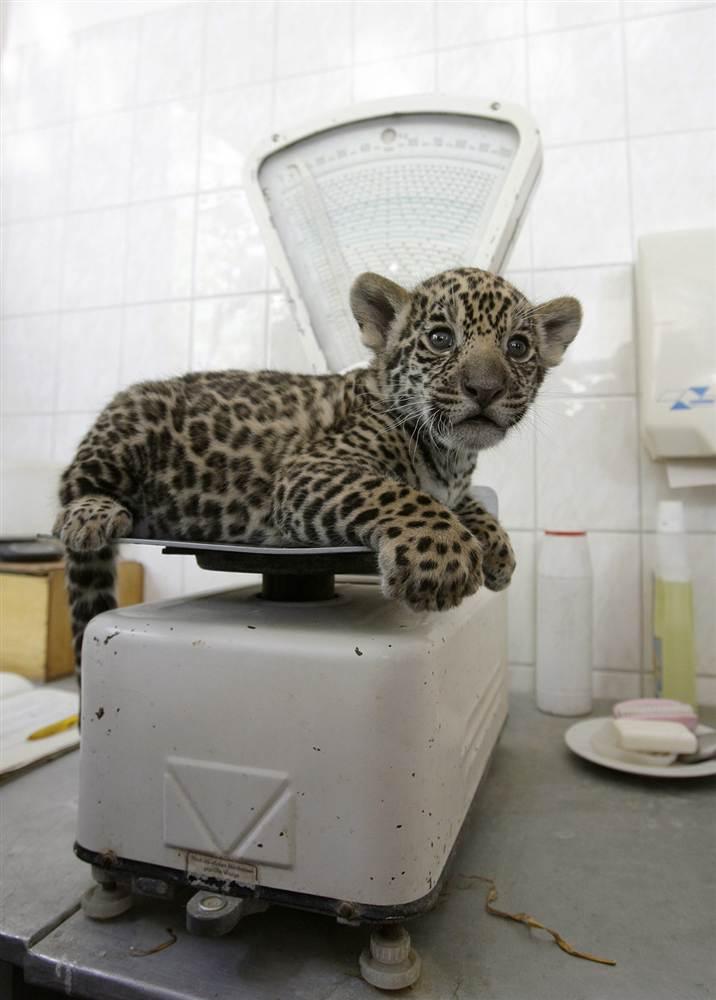 Взвешивание новорожденного ягуара а зоопарке в Берлине