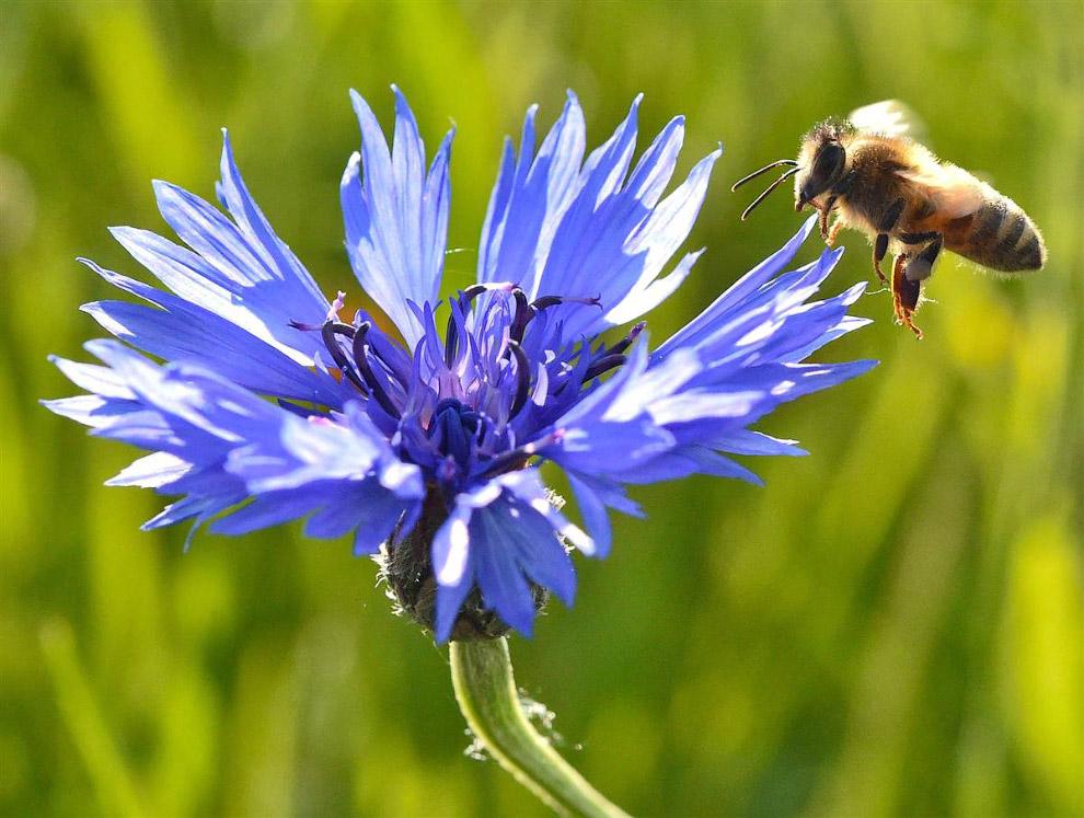 Пчела в поле в Германии