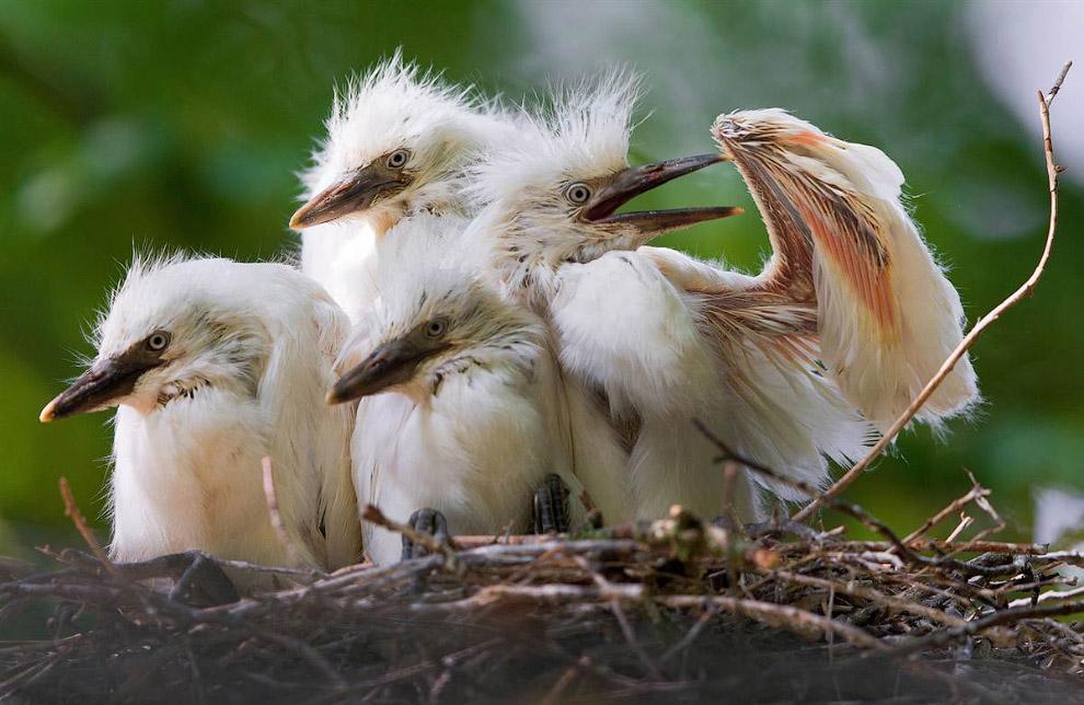 Птенцы белой цапли в гнезде в зоопарке в Германии