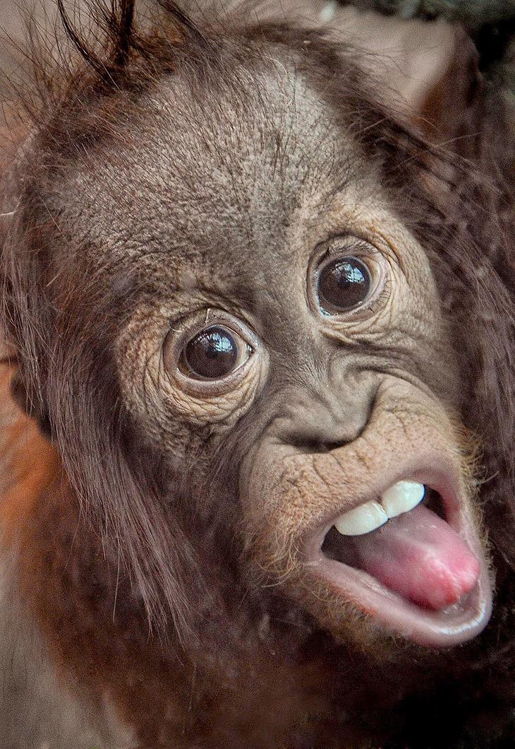 Маленький орангутанг