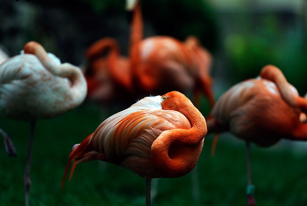 Американские фламинго в зоопарке Лиссабона