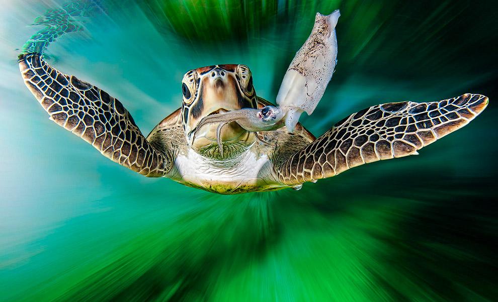 Черепаха в Большом Барьерном рифе