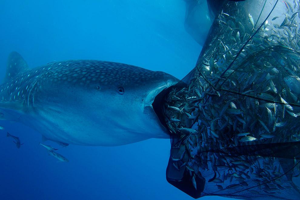 Фотограф поймал удивительные момент, как голодная группа китовых акул пыталась достать легкий ужин из сетей рыбаков
