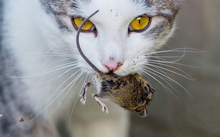 Фотограф из Ганновера заснял момент, как желтоглазая кошка играла с мышкой