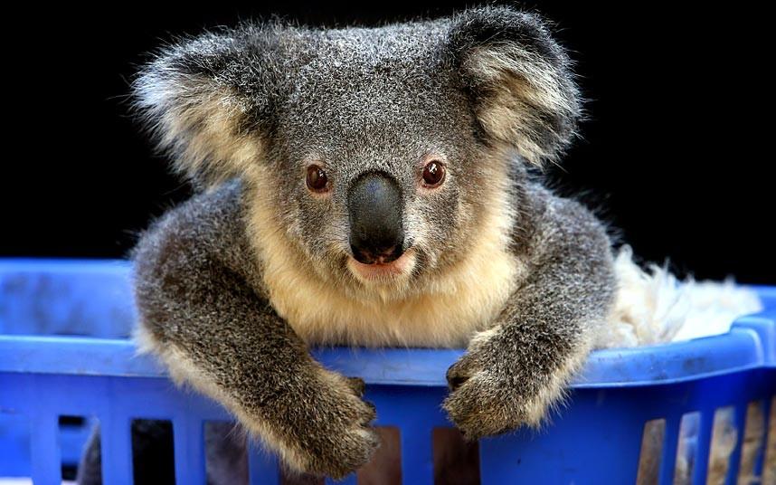 Добродушный коала. Спасен от лесного пожара в Новом Южном Уэльсе