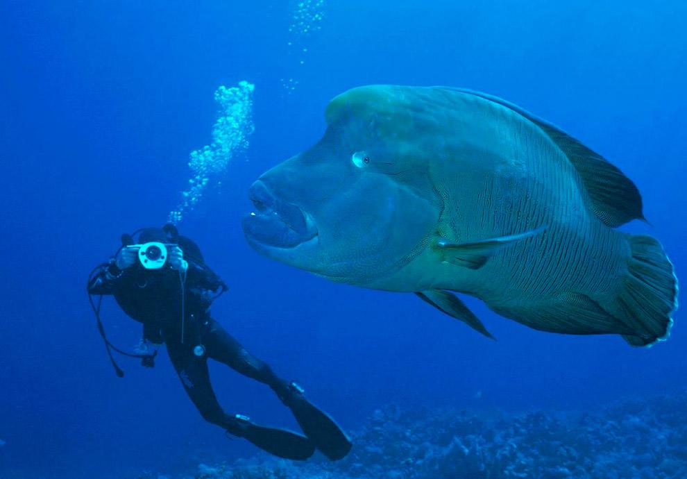 Морской гигант - зеленая шишколобая рыба-попугай