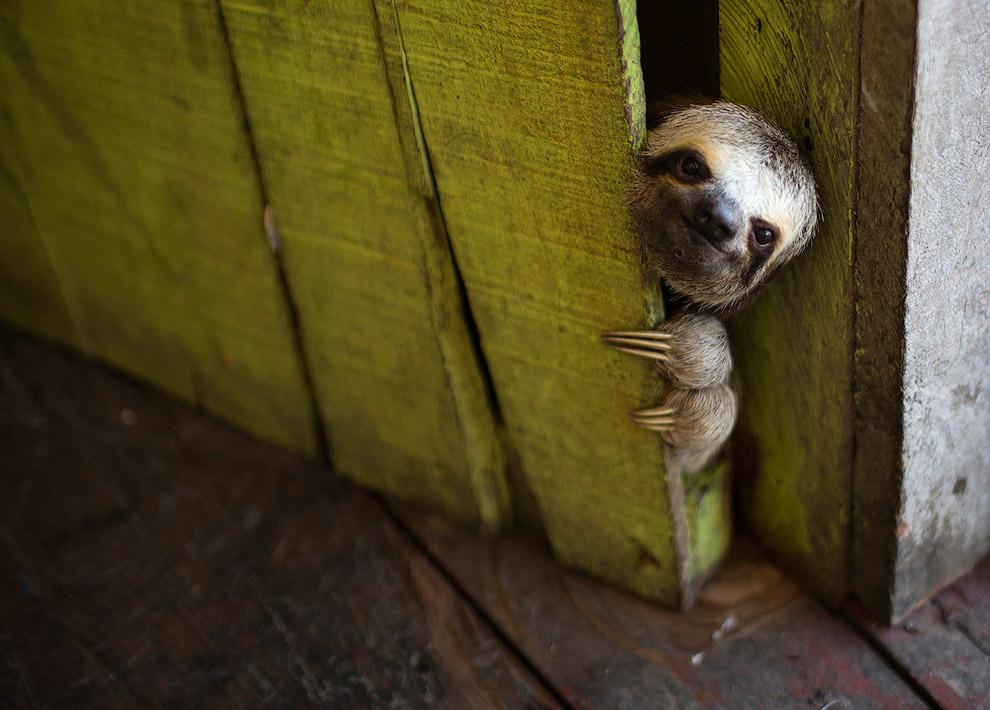 Ленивец выглядывает из-за двери в Бразилии