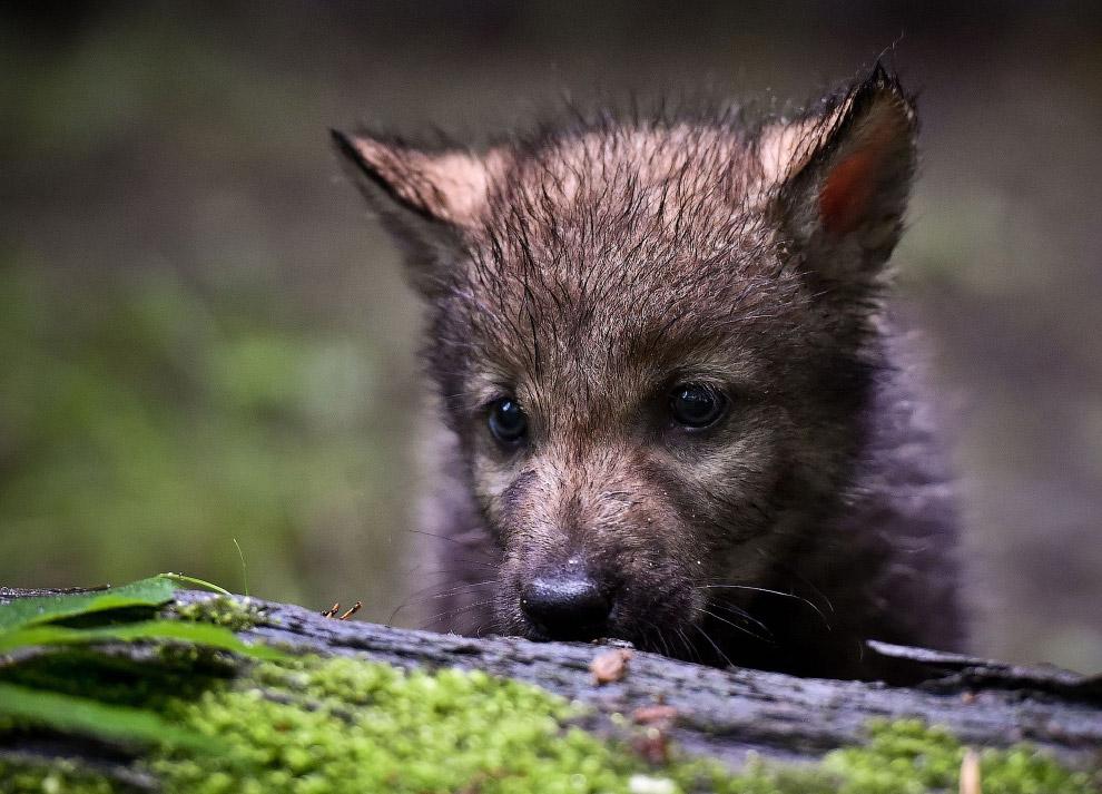 Волчонок в зоопарке города Эберсвальде