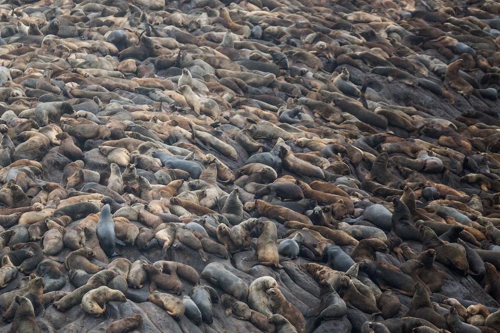 Свалка из морских львов на острове Паломино
