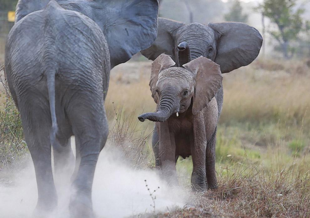 Осиротевший слоненок (в центре) знакомится с новыми родителями