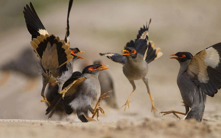 Птичьи бои. Сражение за территорию в Пенджабе, Пакистан