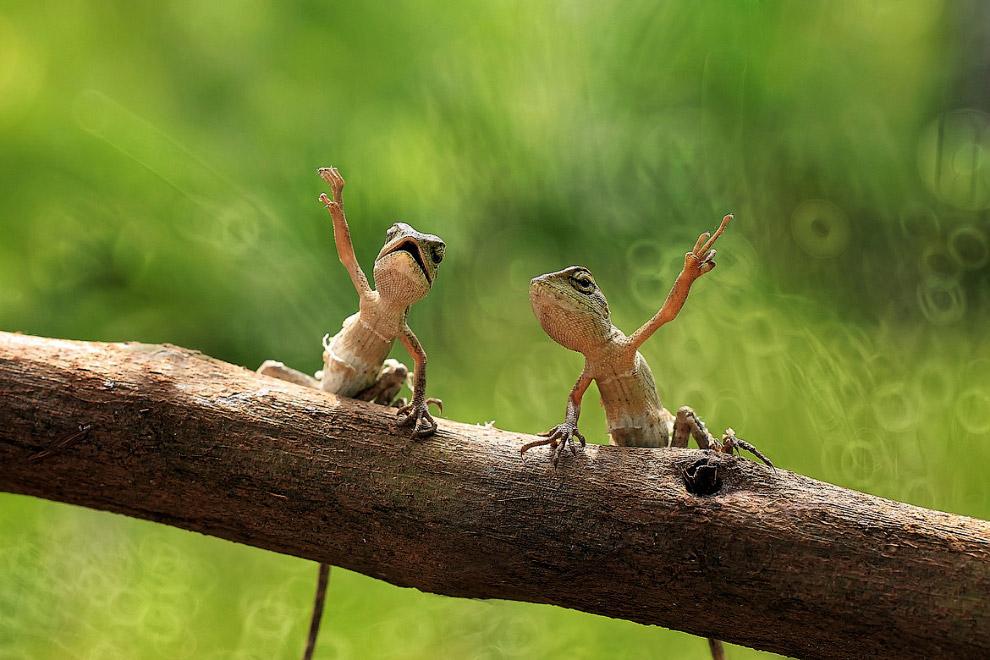 Древесные ящерицы махают лапами, Индонезия