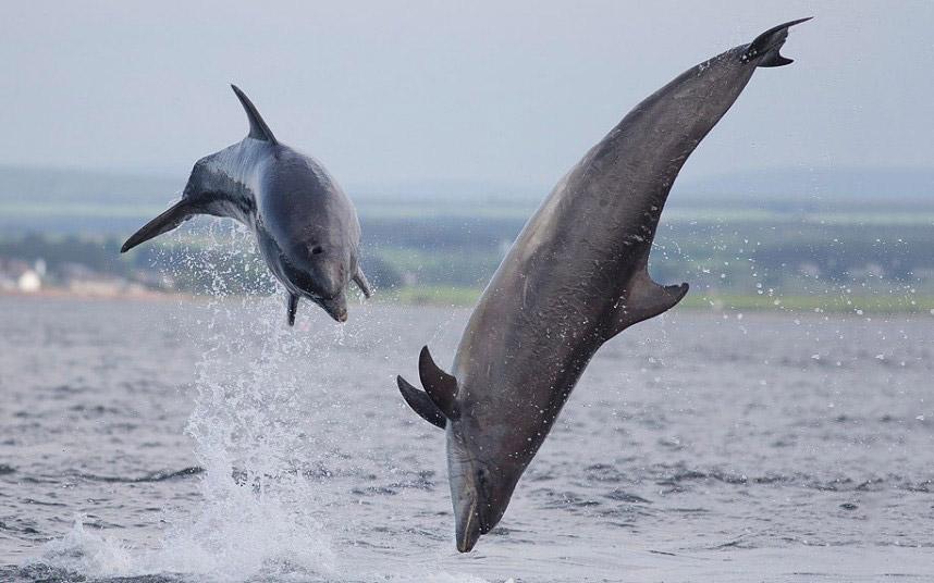 Дельфины в в Шотландии