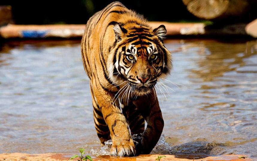 Тигр в сафари-парке в графстве Уэст-Мидлендс, Англия
