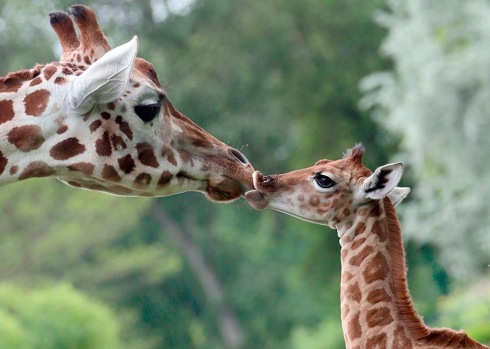 10-дневный жираф