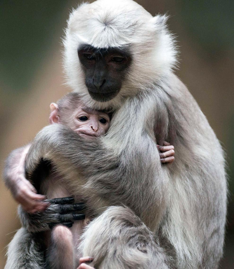 Лангуры — род обезьян из семейства Мартышковые