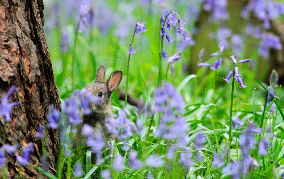 Крольчонок среди колокольчиков в лесу на северо-востоке Англии