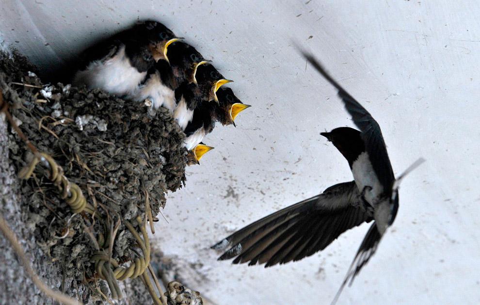 Голодная детвора в ласточкином гнезде