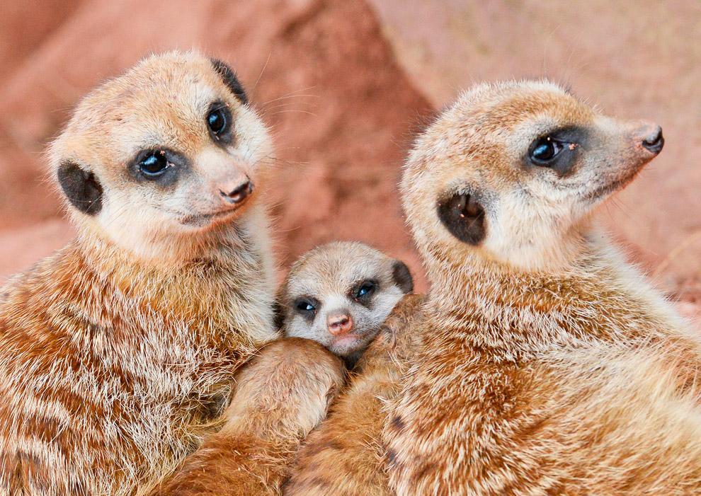 Семья сурикатов в зоопарке в Эрфурте, Германия