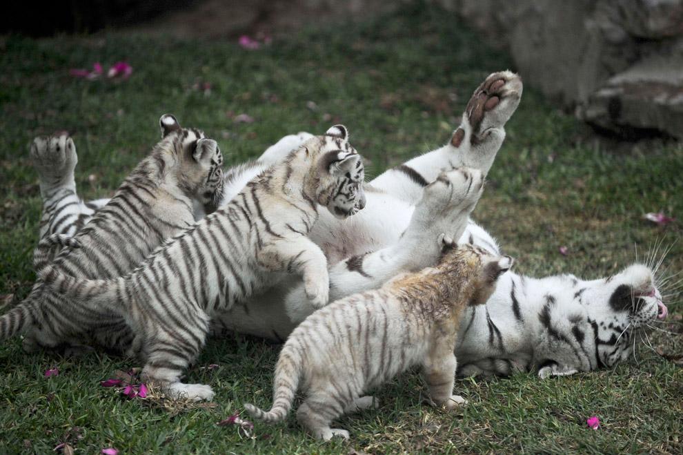 Бенгальские тигрята с мамой