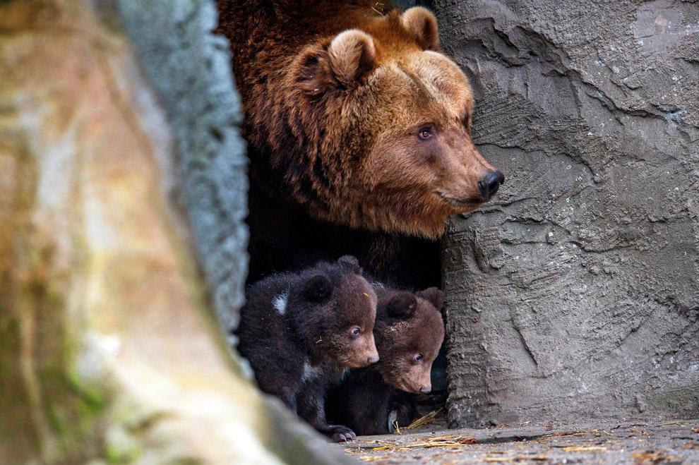 Бурые медвежата в зоопарке в Гамбурге, Германия