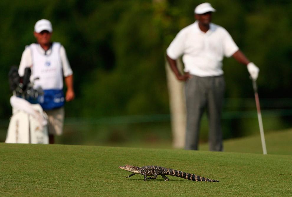 Крокодильчик на поле для гольфа