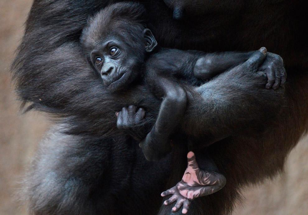 2-месячная горилла