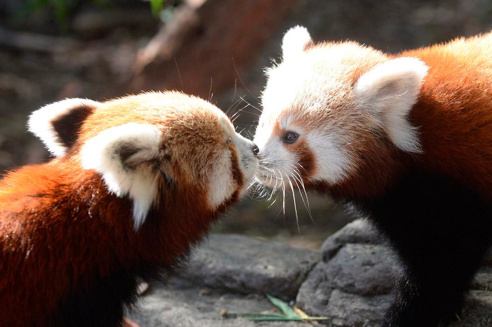 Детеныши малой панды