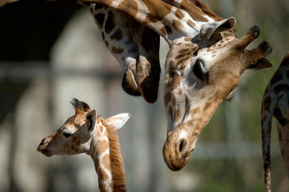 Жирафенок в зоопарке на севере Германии