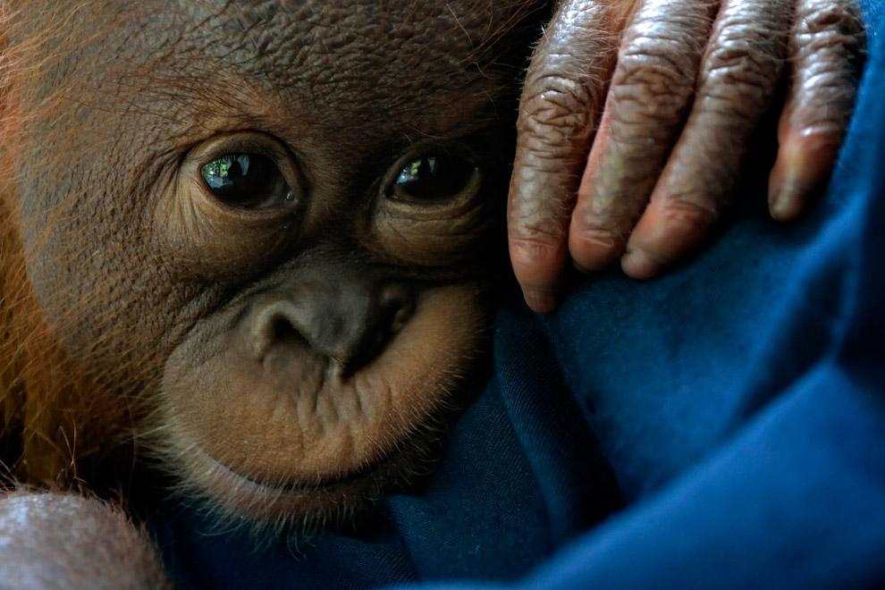 Маленький суматранский орангутанг