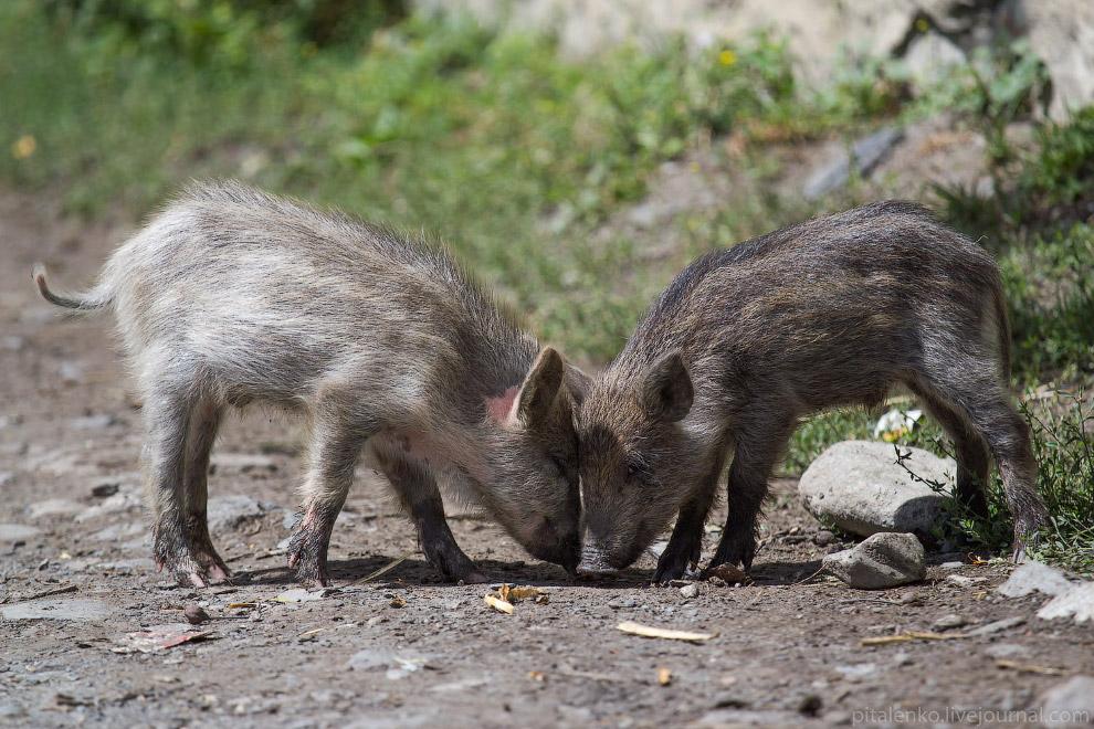 Свиньи больше похожи на диких кабанов и гуляют сами по себе