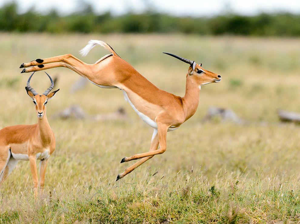 Игры антилоп в северной Ботсване
