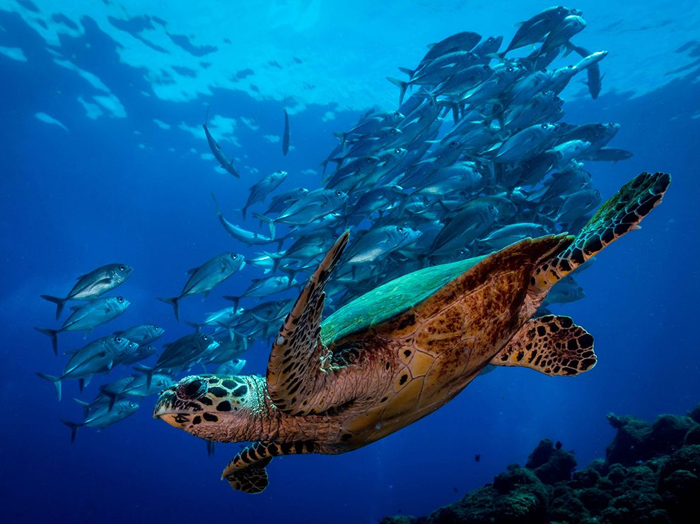 Парящая черепаха, Папуа-Новая Гвинея