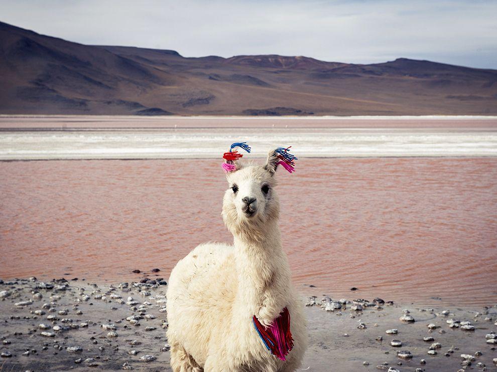 Эта лама в горах Боливии среди ледяных ветров чувствует себя невероятно комфортно